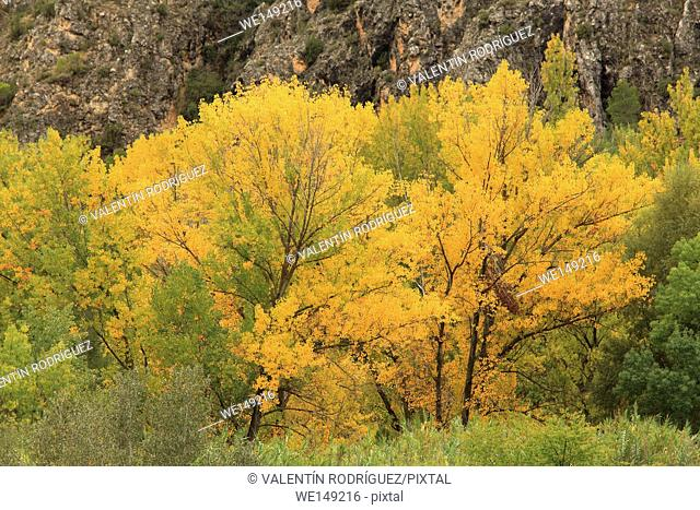 Poplars (Populus nigra) on riverside of the Turia river in Casas Altas. Valencia