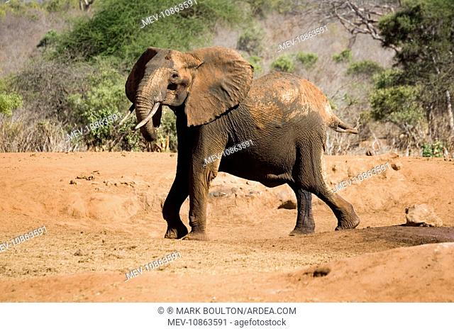 African elephant - female / cow angry at not being able to rescue her very young calf which has fallen into a water hole in Ngulia Rhino Sancturay (Loxodonta...