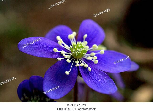The hepatica (Hepativca nobilis) has pistils which clash with the colour of its petals. Flowers of the mountains in the alps, Lombardy, Italy, Europe