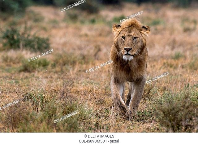 Male lion walking (Panthera leo), Ndutu, Ngorongoro Conservation Area, Serengeti, Tanzania