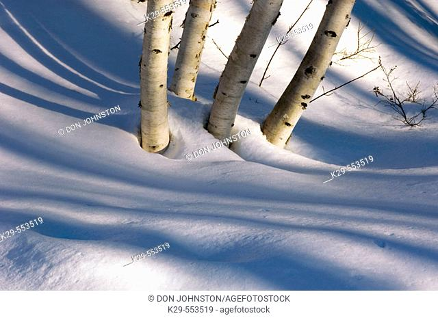 Birch trees and shadows. Ontario, Canada
