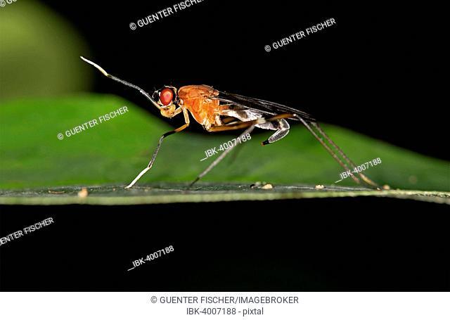 Tropical Stilt Fly (Micropezidae sp.), Tambopata Nature Reserve, Madre de Dios region, Peru