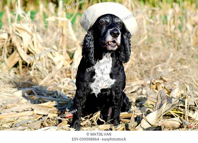Cocker spaniel dog with a sailor hat