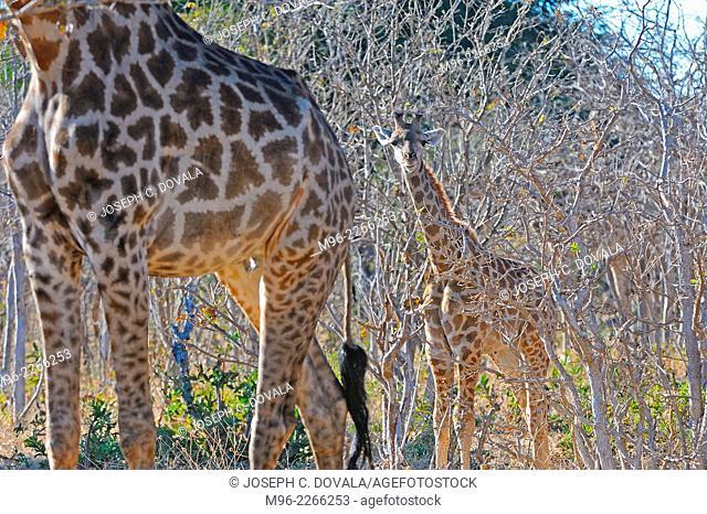 Young giraffe stays next to mature one, Chobe River, Botswana, Africa