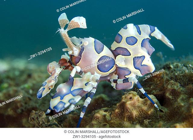 Harlequin Shrimp (Hymenocera elegans), Melasti dive site, Seraya, near Tulamben, Bali, Indonesia