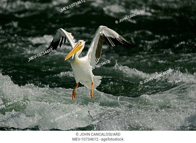 American White Pelican - landing in river rapids. (Pelecanus erythrorhynchos)