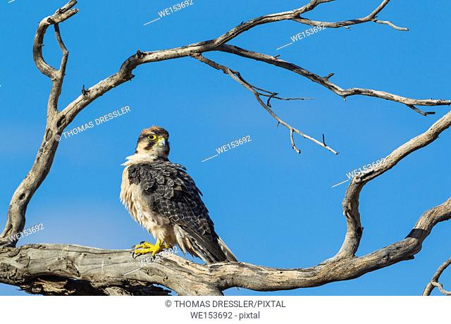 Lanner Falcon ( Falco biarmicus). Kalahari Desert, Kgalagadi Transfrontier Park, South Africa