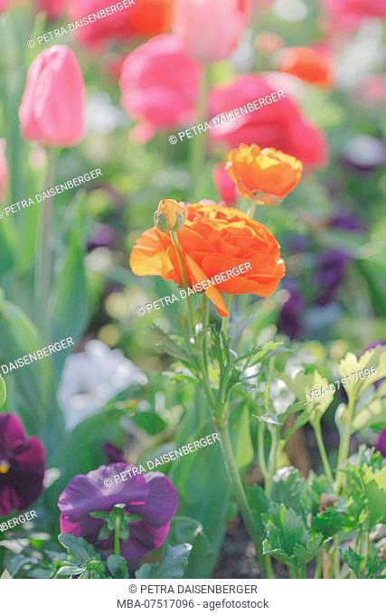 Ranunculus and tulips in a bed