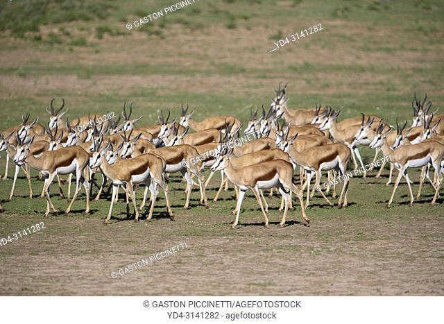 Springboks (Antodorcas marsupialis), Kgalagadi Transfrontier Park in rainy season, Kalhari Desert, South Africa/Botswana