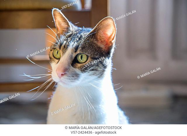 Portrait of tabby and white cat at home