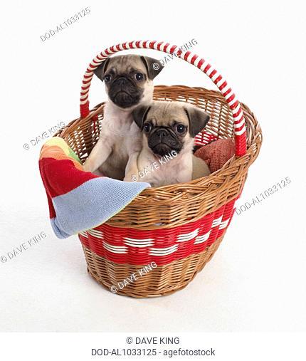 Pug puppies, 7-week-old