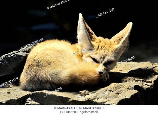 Fennec or Desert Fox (Vulpes zerda, Fennecus zerda)