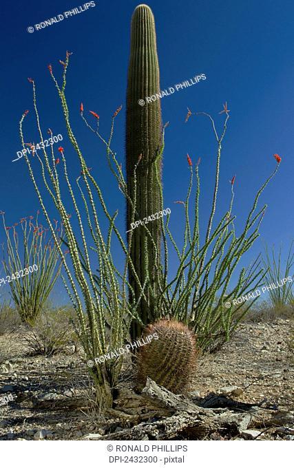 Saguaro Cactus (Carnegiea gigantea); Arizona, United States of America