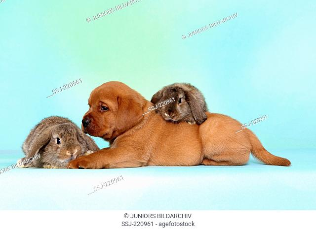 Labrador Retriever. Puppy (5 weeks old) with a pair of dwarf lop-eared bunnies, lying. Germany. Studio picture seen against a turquoise background
