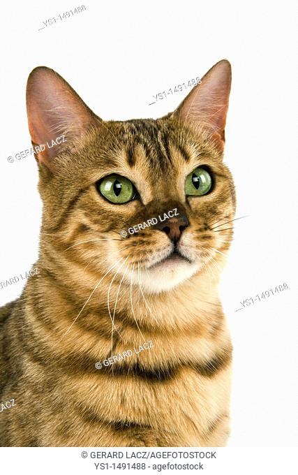 Brown Spotted Tabby Bengal Domestic Cat, Portrait of Adult against White Background