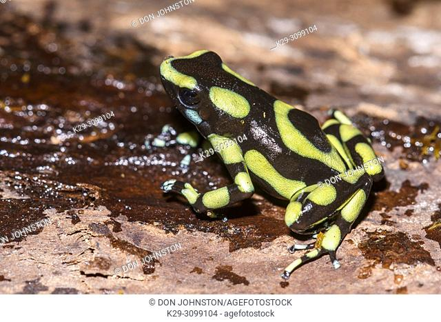 "Dendrobates auratus """"Colombian yellow"""", Understory Enterprises, Captive raised, Native to: Colombia"