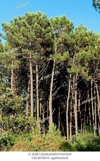 Pine forest, Porto do Son, La Coruna province, Region of Galicia, Spain, Europe