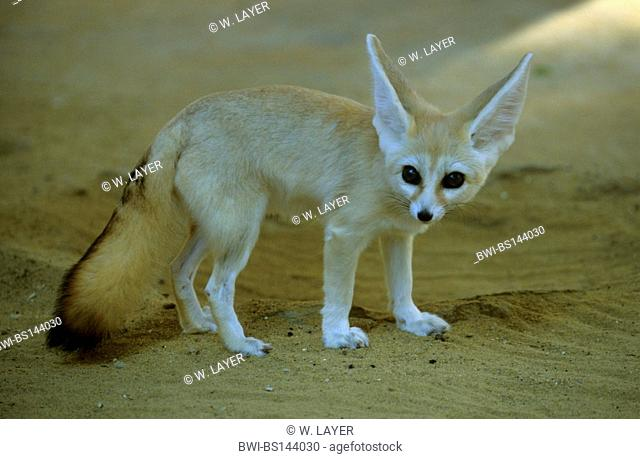 fennec fox (Fennecus zerda, Vulpes zerda), individual on sand, Tunisia