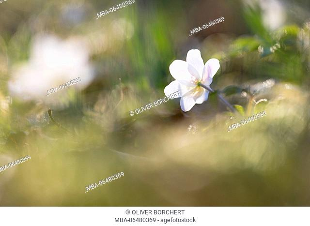 Wood anemones, anemone nemorosa, single blossom