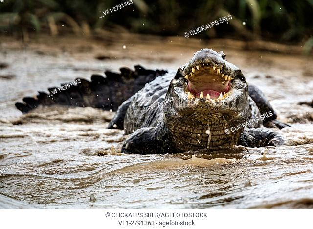 Yacare caiman from rio cuibà. Rio cuiabà, Mato Grosso do Sul; Pantanal; brasil