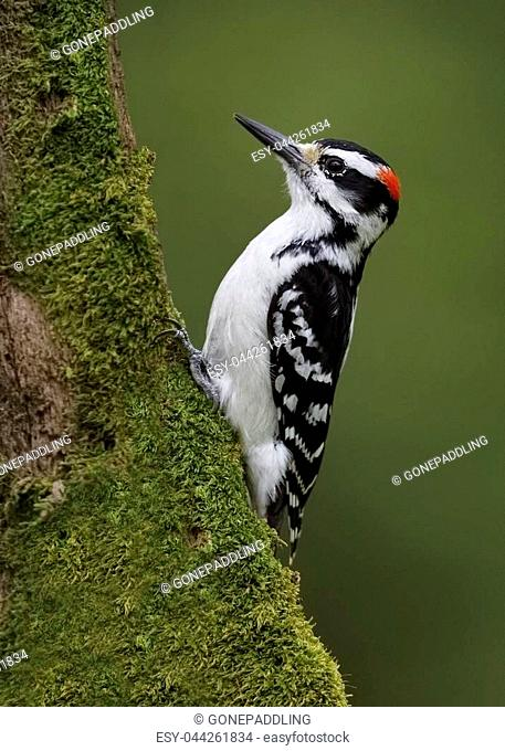 Male Hairy Woodpecker (Leuconotopicus villosus) foraging for insects on a mossy tree trunk - Ontario, Canada