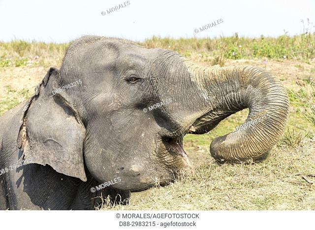 India, State of Assam, Kaziranga National Park, domestic Asian Elephant (Elephas maximus) use in safaris in search of the Asian One-horned rhino or Indian...