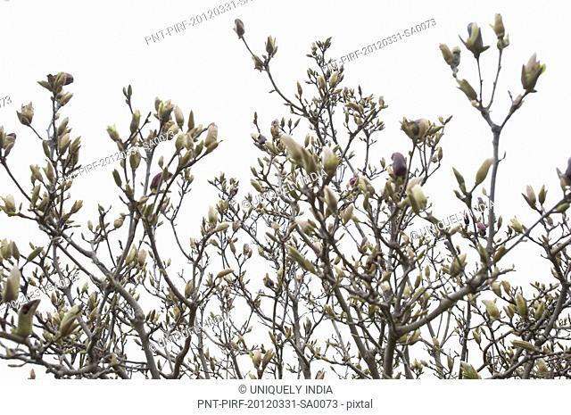 Flowers on a almond tree, Srinagar, Jammu And Kashmir, India