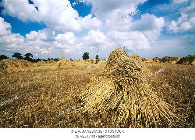 Traditional wheat sheaves grown from thatching. UK