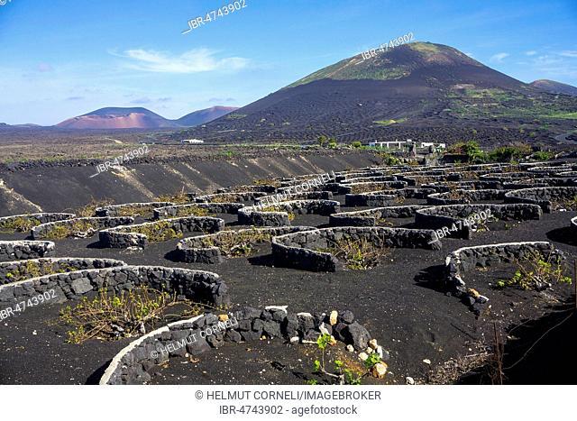 Walls around vines in the wine-growing region of La Geria, Lanzarote, Canary Islands, Spain