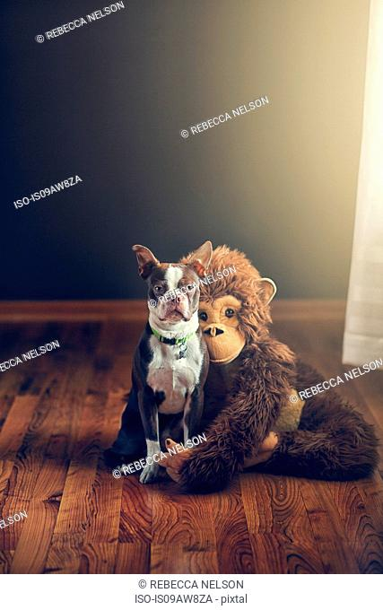 Stuffed monkey toy hugging Boston Terrier dog