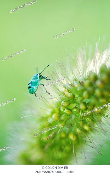 Green Shield bug nymph on flower