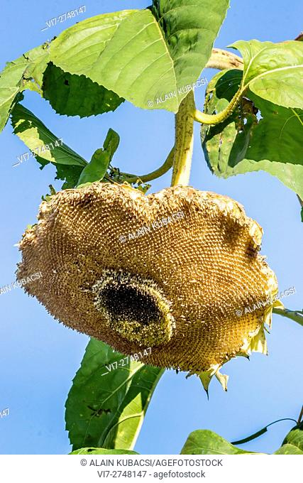 Sunflowerseed 'Panache'