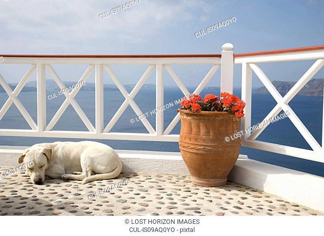 Dog sleeping on balcony with sea view, Oia, Santorini, Cyclades, Greece