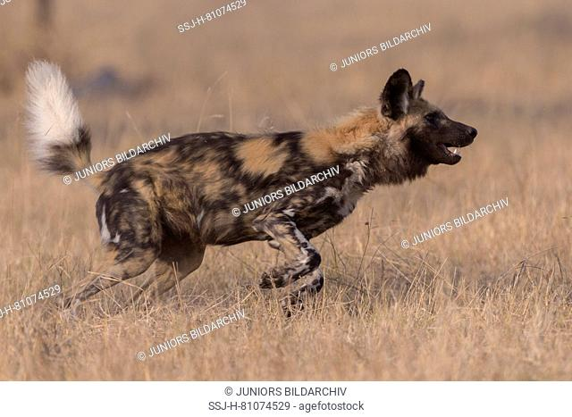 African Wild Dog (Lycaon pictus). Adult running in dry grass. Mala Mala Game Reserve, South Africa