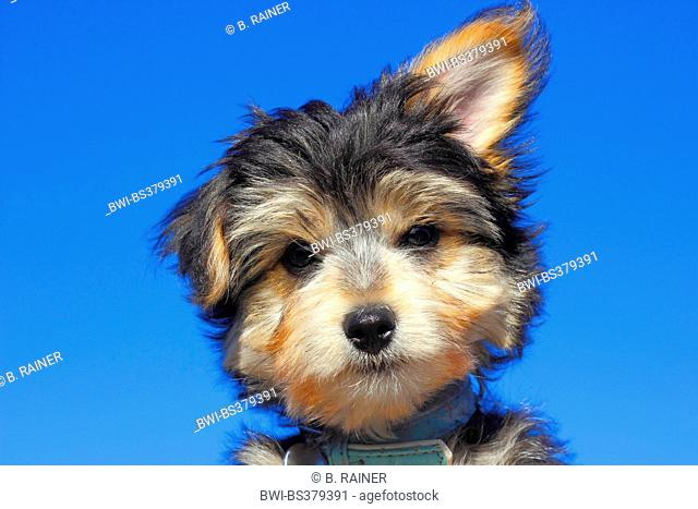 mixed breed dog (Canis lupus f. familiaris), portrait of a Yorkshire Terrier mixed breed puppy, Germany