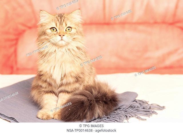 a Turkish Angora cat