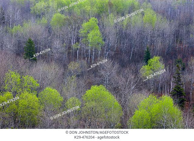 Early spring foliage emerging in mixed forest. Naughton. Ontario. Canada