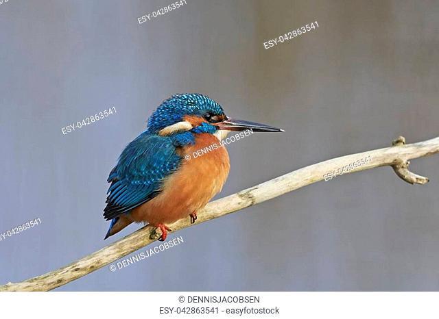 Common kingfisher in its natural habitat in Denmark