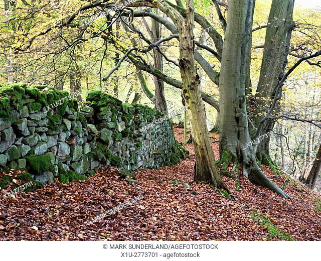 Old Mossy Wall and Autumn Trees in Skrikes Wood near Pateley Bridge North Yorkshire England