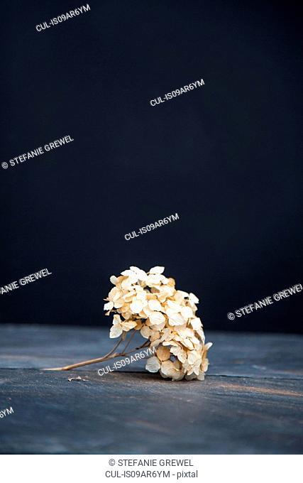 Still life of dried hydrangea flower