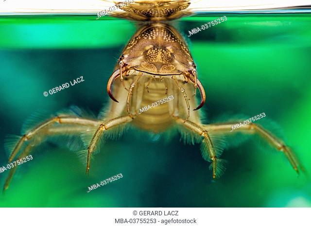 Great Diving Beetle, dytiscus marginalis, Larva standing in Water, Normandy