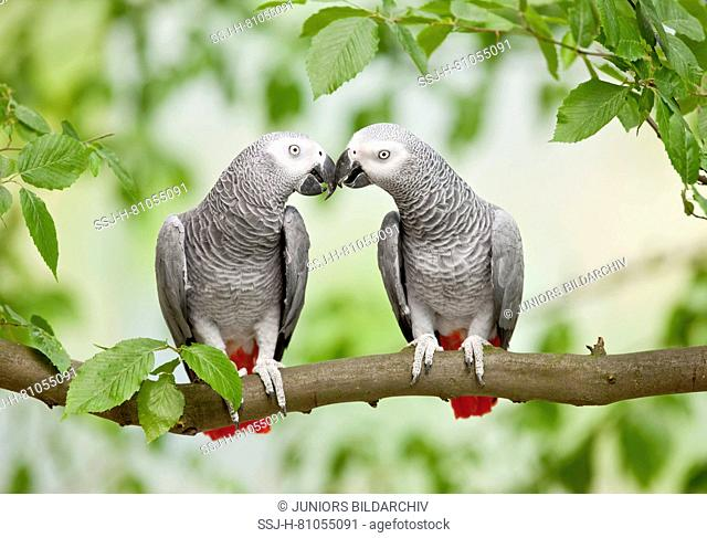 African Grey Parrot (Psittacus erithacus). Pair of adult perched on a branch, billing. Germany