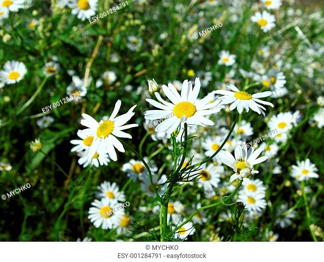 camomile on natural backgroun