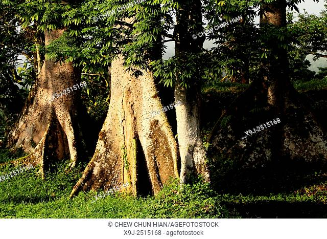 Kapok tree Ceiba Pentandra Gaertn in borneo, sarawak, malaysia