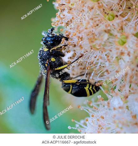 Potter Wasp, Eumenes fraternus on dew covered flower North Eastern Ontario, Canada