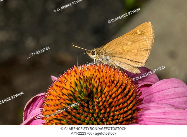 Sachem Skipper (Atalopedes compestris) Feeding on Purple Cone-flower (Echimacea purpurea) Flower