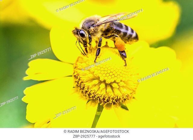Honey bee on Helenium 'Kugelsonne'