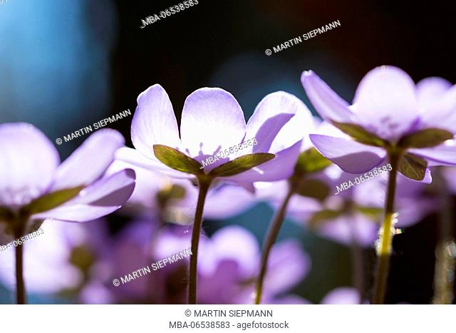 Blossoms, liverwort (Hepatica nobilis), Upper Bavaria, Bavaria, Germany