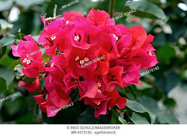 Drilling flower (Bougainvillea glabra) or Bougainvillea, blossoms, origin South America, Jardín de Aclimatión de La Orotava Botanical Garden, Puerto de la Cruz