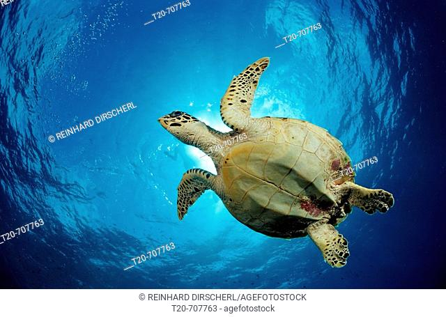 Hawksbill Turtle, Eretmochelys imbricata, Maldives, Indian Ocean, Meemu Atoll